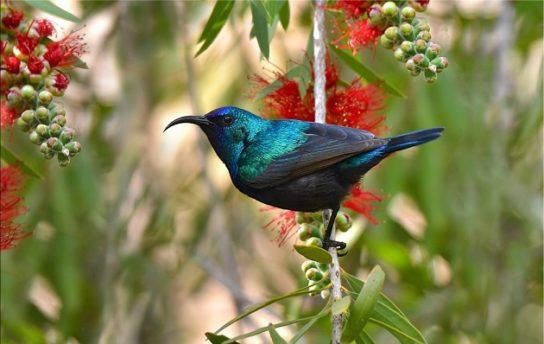 nektarinica-544x344.jpg