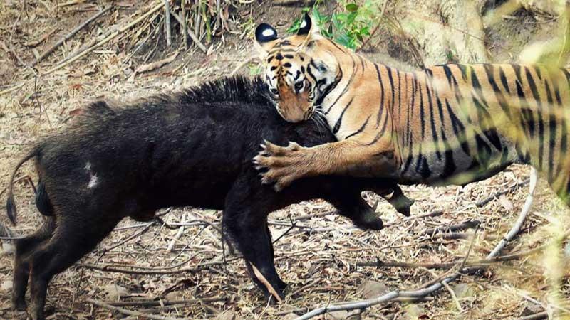 ohota-tigra.jpg