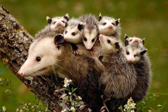 opossumi-544x363.jpg
