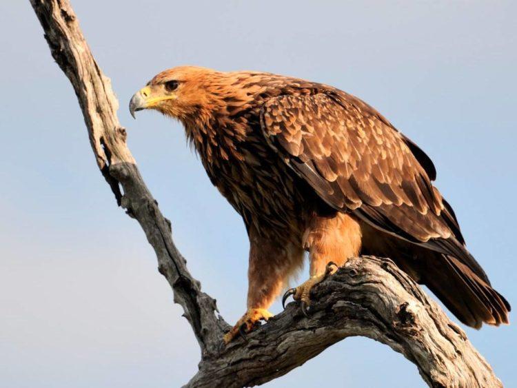 -орел-Aquila-rapax-e1545984059649.jpg