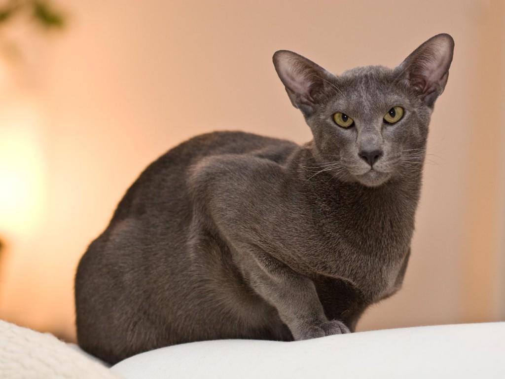 oriental-cat-1024x768.jpg
