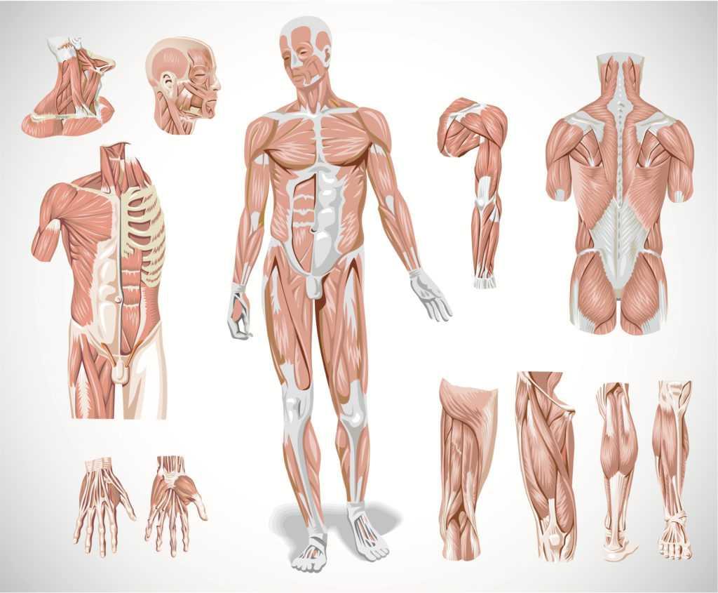 Что такое мышцы