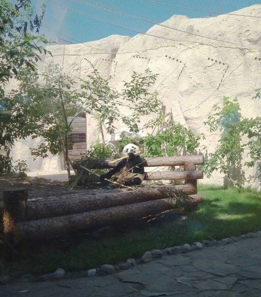panda-528x600.jpg