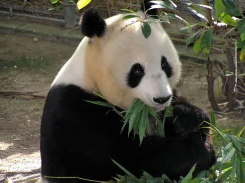 -панда-рацион.jpg