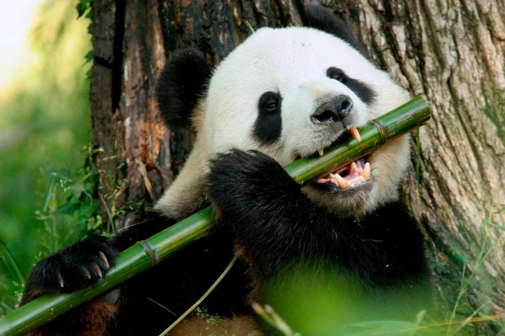 panda_est.jpg
