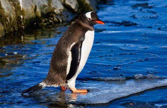 papuanskiy-pingvin-544x353.jpg