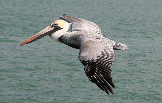 pelican-544x346.jpg