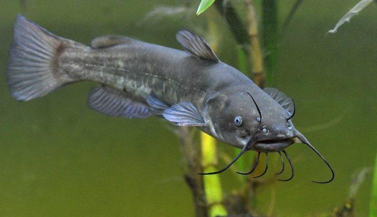 piece_7_nandus_nebulosus_in_aquarium_-look-here-e1524139512683.jpg
