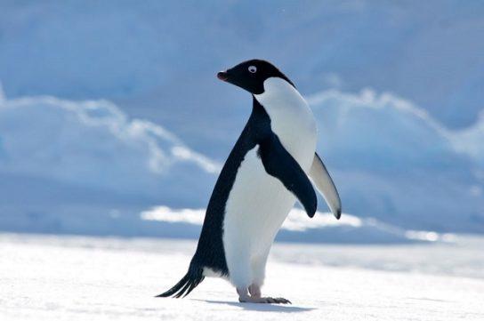 pingvin-adeli-544x361.jpg