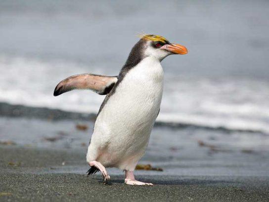 pingvin-shlegelya-544x408.jpg