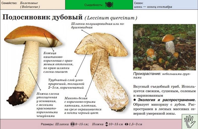 podosinovik-3.jpg