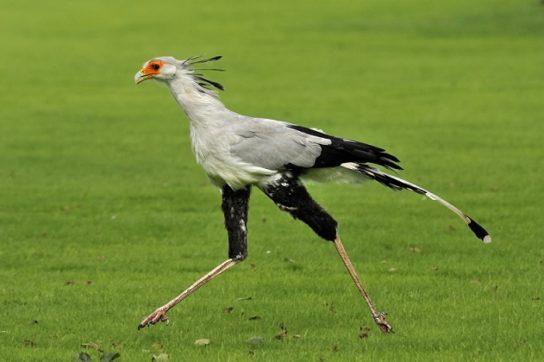 ptica-sekretar-544x362.jpg