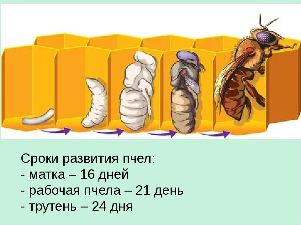 -развития-пчелы-фото.jpg