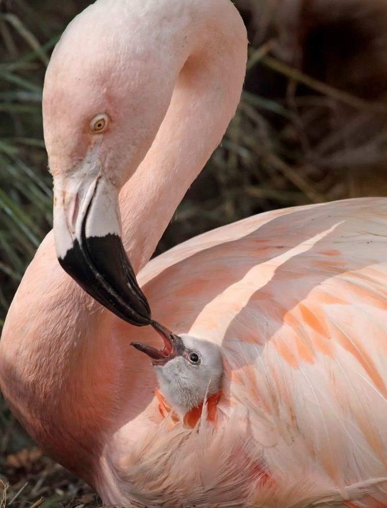 rozovaja-ptica-flamingo-foto-opisanie-animal-reader.-ru-002.jpg