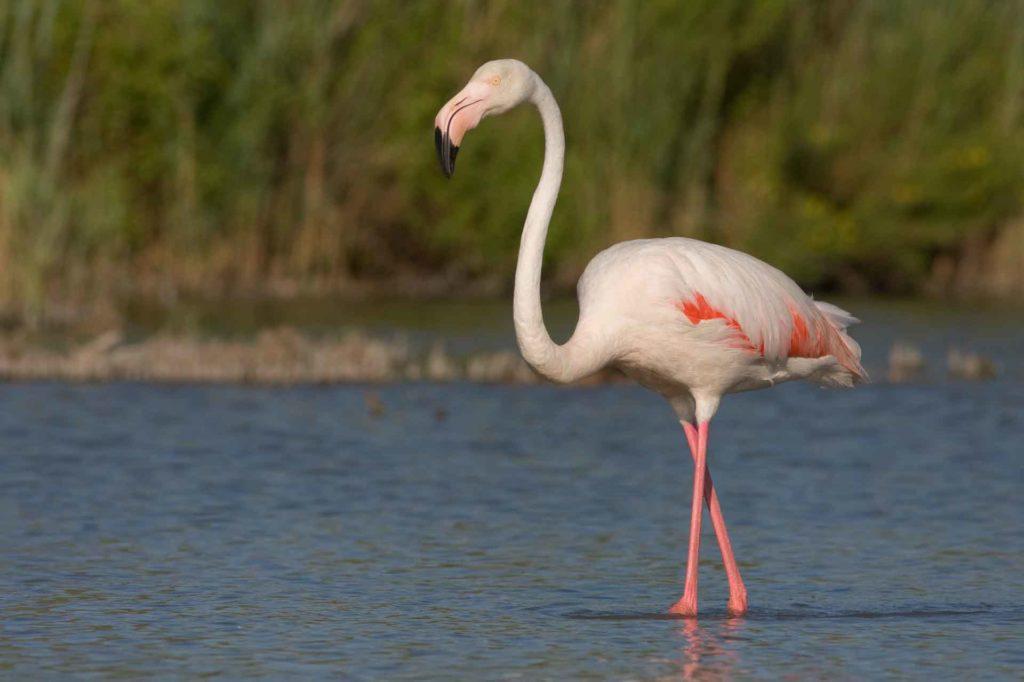 rozoviy_flamingo.jpg