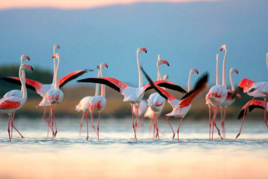 rozoviy_flamingo_ili_obiknovenniy.jpg