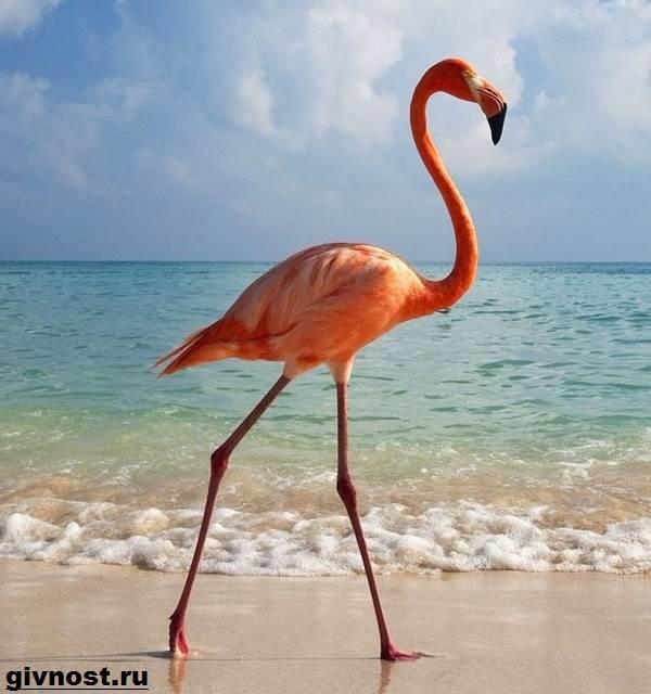 rozovyj-flamingo-obraz-zhizni-i-sreda-obitaniya-rozovogo-flamingo-5.jpg