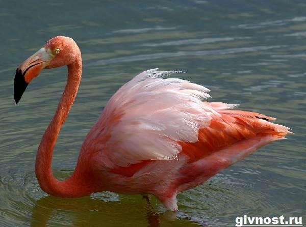 rozovyj-flamingo-obraz-zhizni-i-sreda-obitaniya-rozovogo-flamingo-6.jpg
