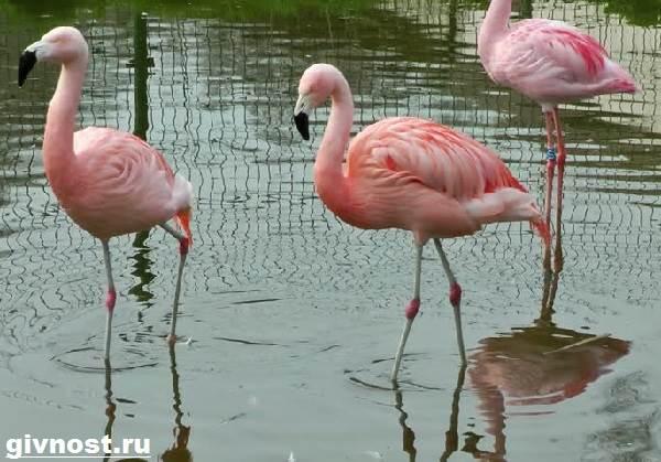 rozovyj-flamingo-obraz-zhizni-i-sreda-obitaniya-rozovogo-flamingo-8.jpg