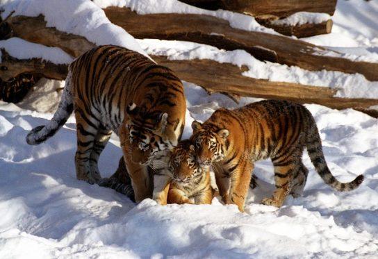 save-tigr-544x373.jpg