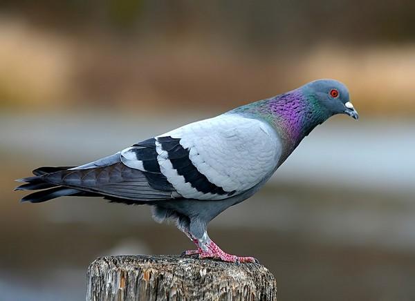 Sizyiy-golub.jpg