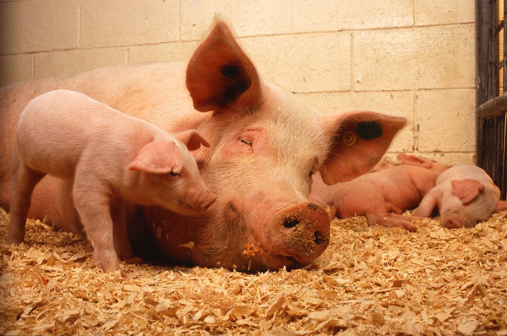 sow_and_five_piglets-1024x679.jpg