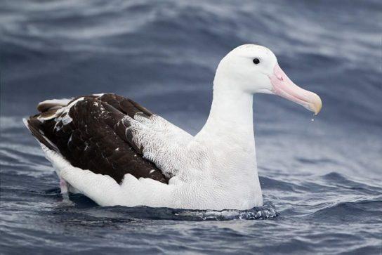 stranstvujuchiy-albatros-544x363.jpg