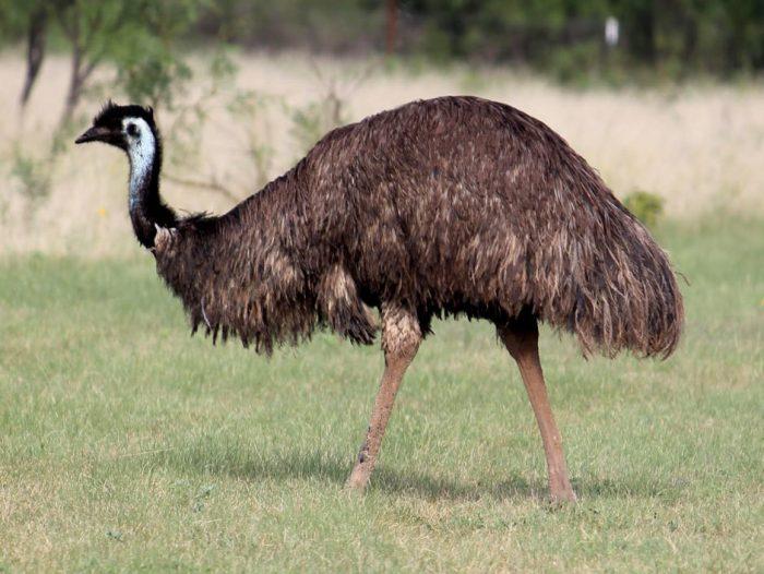 straus-emu-e1501001894386.jpg