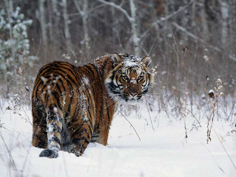 tiger-in-snow.jpg