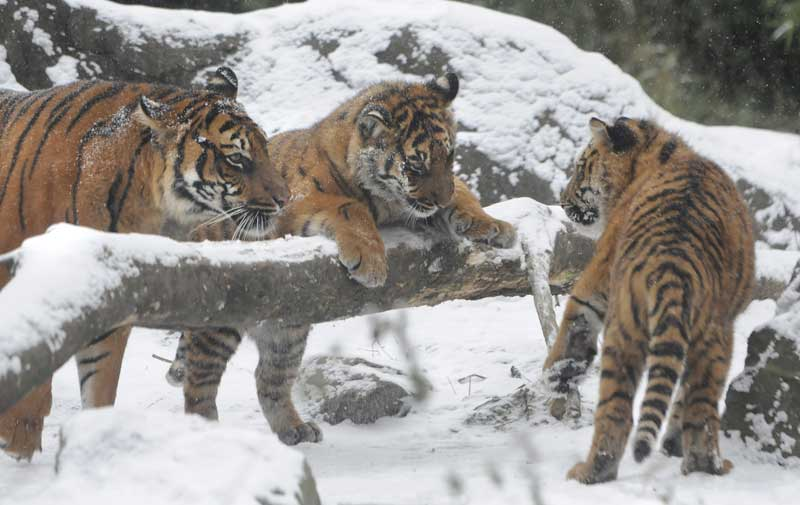 tigryata.jpg