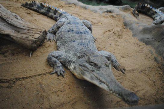 uzkoriliy-krokodil-544x364.jpg