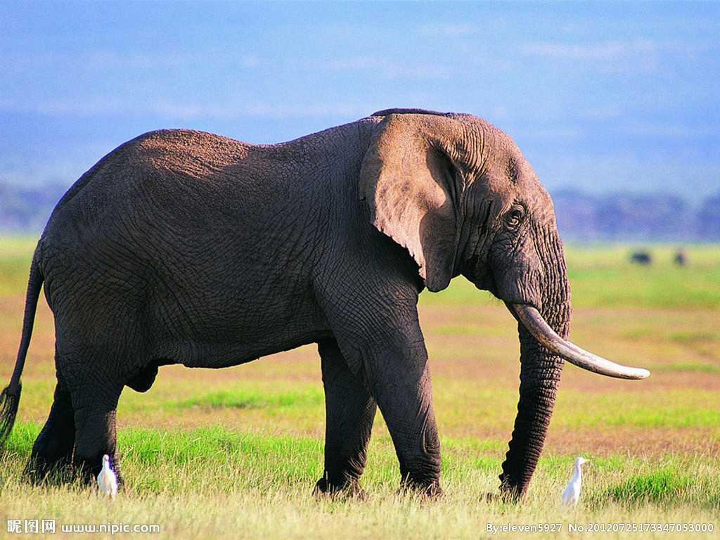 Зачем слону хобот