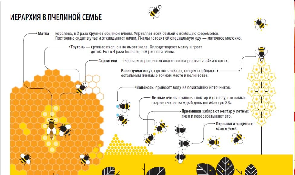 -входит-в-пчелиную-семью-фото.jpg