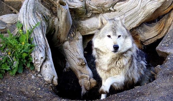 -волка.jpg