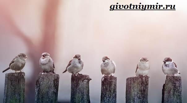 vorobej-ptica-obraz-zhizni-i-sreda-obitaniya-vorobya-10.jpg