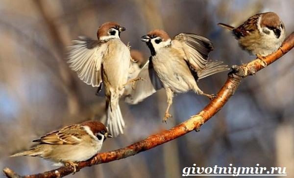 vorobej-ptica-obraz-zhizni-i-sreda-obitaniya-vorobya-2.jpg