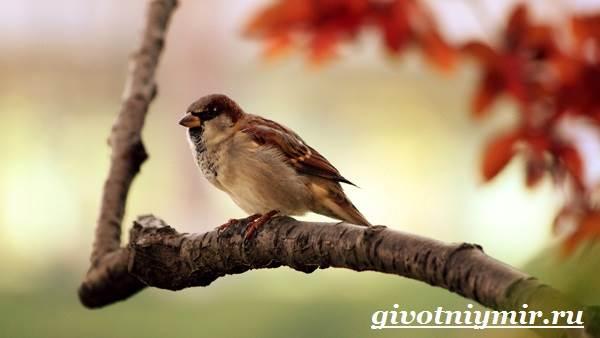 vorobej-ptica-obraz-zhizni-i-sreda-obitaniya-vorobya-4.jpg