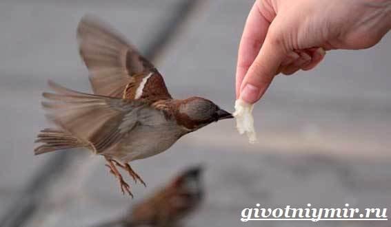 vorobej-ptica-obraz-zhizni-i-sreda-obitaniya-vorobya-5.jpg
