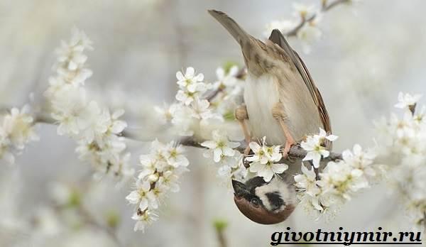 vorobej-ptica-obraz-zhizni-i-sreda-obitaniya-vorobya-9.jpg