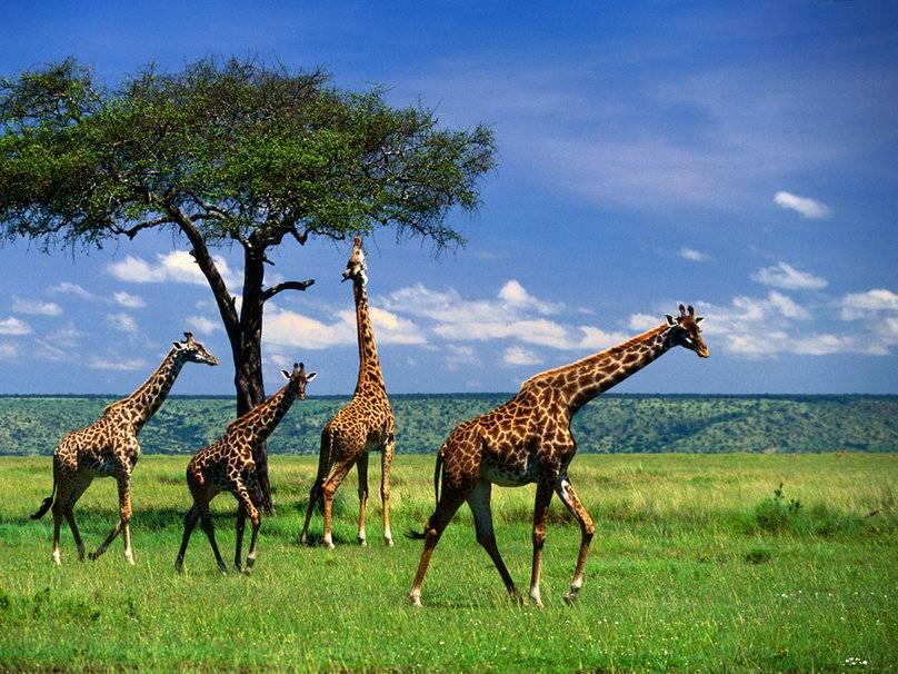-высокое-животное-в-мире-жираф.jpg