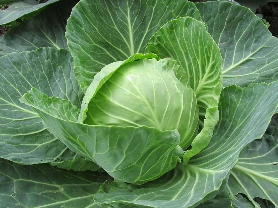 white-cabbage-2705228_960_720.jpg