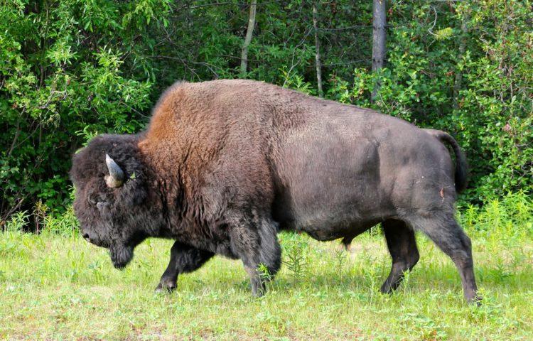 Wood-bison-2-e1524136024690.jpg