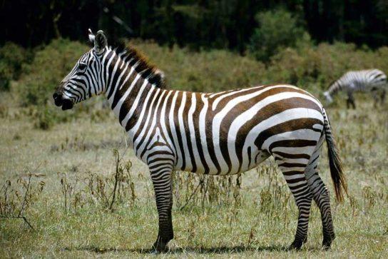 zebra-544x363.jpg