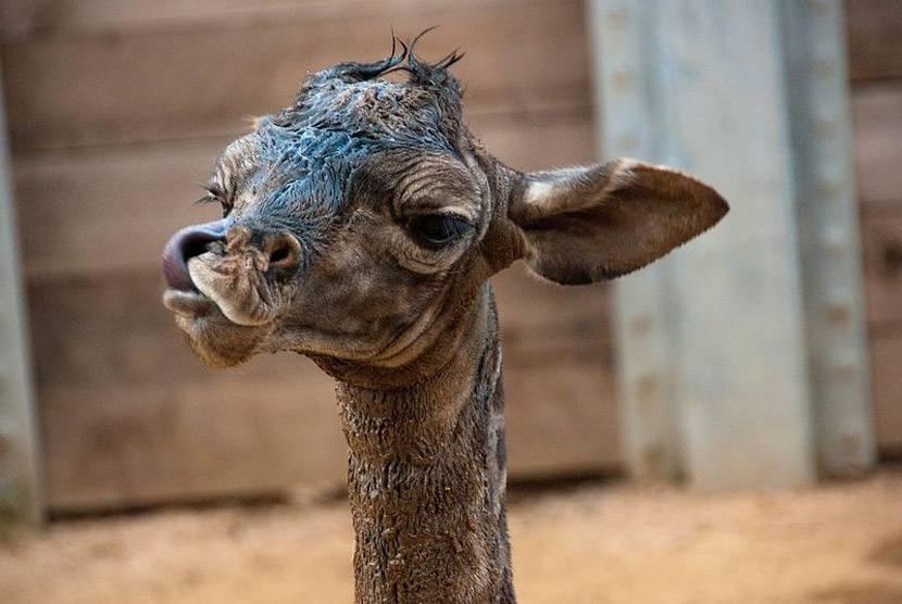 -жираф.jpg