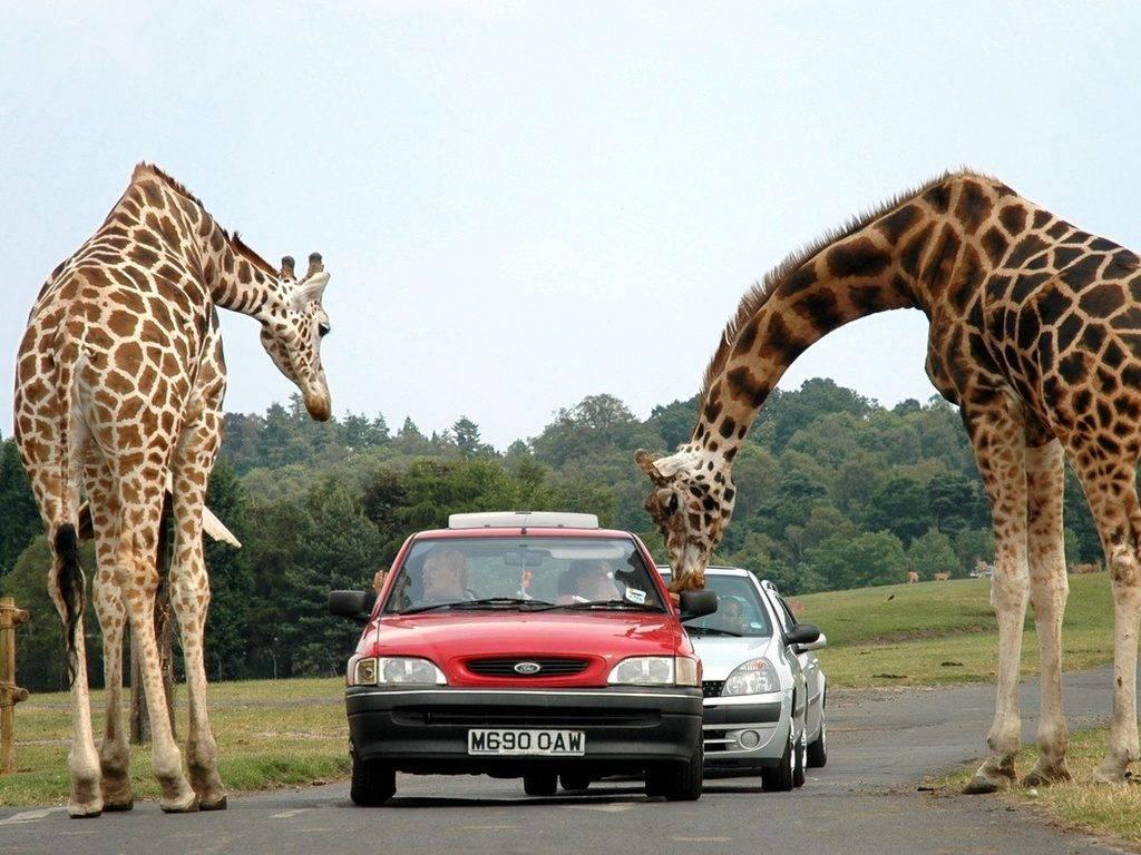 -жирафа-1024x768.jpg