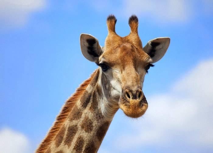 -жирафа-фото.jpg