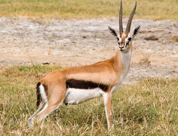 zhivotnye-savanny-opisaniya-nazvaniya-i-osobennosti-zhivotnyx-savanny-26.jpg