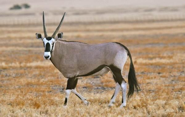 zhivotnye-savanny-opisaniya-nazvaniya-i-osobennosti-zhivotnyx-savanny-28.jpg