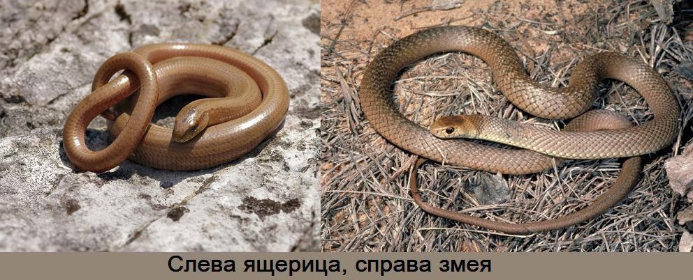 -змеи-отличаются-от-ящериц.jpg